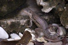 close up Encaracolado-atado do armouri do carinatus de Leiocephalus do lagarto foto de stock