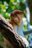 Proboscis Monkey. Close up of an endangered female Proboscis monkey in a tree Stock Image