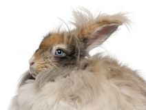 Close-up of English Angora rabbit in front of white background. Isolated on white royalty free stock photo