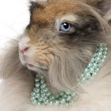 Close-up of English Angora rabbit wearing pearls. In front of white background stock photography