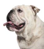 Close-up of English Bulldog, 14 months old Stock Photos