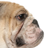 Close-up of English Bulldog, 16 months old Stock Image