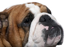 Close-up of English Bulldog, 2 years old Stock Image