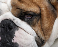 Close-up of English Bulldog, 2 years old Royalty Free Stock Image