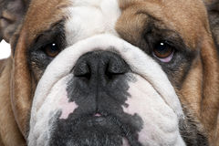 Close-up of English Bulldog, 2 years old Stock Photography