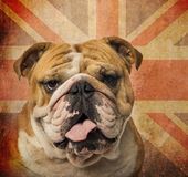 Close-up of an English Bulldog Stock Photography
