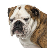 Close-up of an English Bulldog, 4 years old Stock Photography