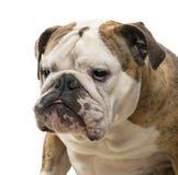 Close-up of an English Bulldog, 4 years old Stock Image
