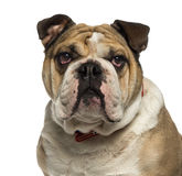 Close-up of an English Bulldog looking Stock Photo