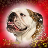 Close-up of an English bulldog panting, on christmas background Stock Photo