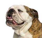 Close-up of an English bulldog panting, isolated. On white Royalty Free Stock Image