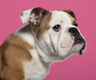 Close-up of English bulldog puppy Stock Photography