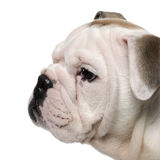 Close-up of English bulldog puppy, 2 months old Stock Image
