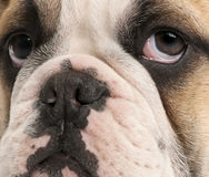 Close-up of English bulldog puppy, 4 months old Stock Images
