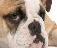 Close-up of English bulldog puppy, 4 months old Stock Photography
