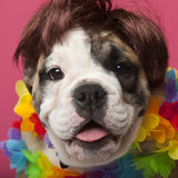 Close-up of English Bulldog puppy wearing a wig Stock Images