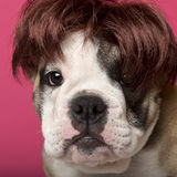 Close-up of English Bulldog puppy wearing a wig Stock Image