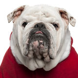 Close-up of English bulldog in Santa outfit Stock Image