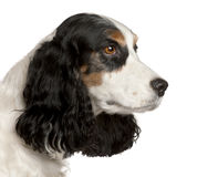 Close-up of English Cocker Spaniel, 6 years old. In front of white background stock photo