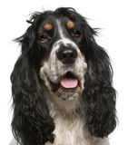 Close-up of English Cocker Spaniel, 6 years old Royalty Free Stock Images