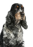 Close-up of an English cocker spaniel, looking up Royalty Free Stock Photo