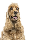 Close-up of an English Cocker Spaniel, panting, isolated Stock Photography