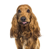 Close-up of an English Cocker Spaniel (1 year old) Stock Photos