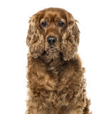 Close-up of an English Cocker Spaniel, 6 years old royalty free stock photography