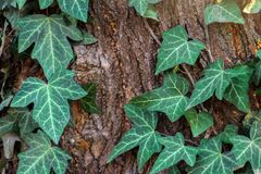 Close-up. English ivy vine covering a big portion of the textured bark surface of a fir tree. In this closeup capture sunny day royalty free stock photos