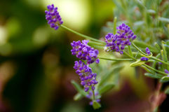 Close up of english lavender blooms Royalty Free Stock Photo