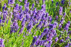English lavender in the garden. Close up of English lavender in the garden stock image
