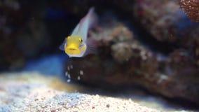 Close up engraçado de um góbio da faixa azul que come rochas, o specie tropical dos peixes do indiano e o Oceano Pacífico vídeos de arquivo