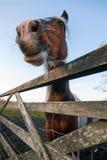 Close up engraçado do cavalo Imagens de Stock Royalty Free