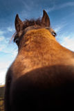 Close up engraçado do cavalo Imagens de Stock