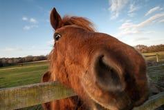 Close up engraçado do cavalo Imagem de Stock