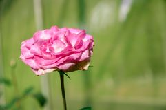Close-up enige mooie Witte rozen met groene achtergrond stock afbeelding