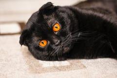 Close-up ernstige zwarte Kat met Gele Ogen in Dark Gezichtszwarte Stock Foto