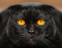 Close-up ernstige zwarte Kat met Gele Ogen in Dark Gezichtszwarte Royalty-vrije Stock Foto