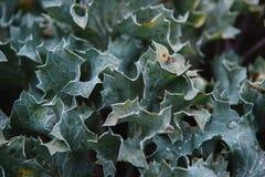 Close up on eryngium maritimum, top view Stock Photo
