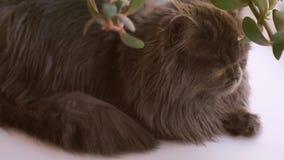 Close-up escoc?s de olhos castanhos do gato da dobra O gato ? escuro - cinza com cabelo longo filme