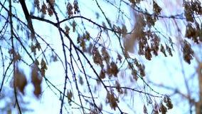 Close-up, esdoorntakken, zonder bladeren, naakte takken Droge zaden die van de tak van een boom zonder bladeren hangen stock video
