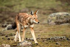 Close up of Ethiopian wolf, the most threatened canid in the world. And the only wolf species found in Africa stock photography