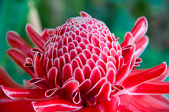 Close up etlingera elatior flower color red in nature Stock Image