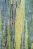 Close up of Eucalyptus bark Stock Photography