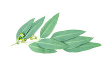 Close up Eucalyptus leaves with flower on white background. Close up the Eucalyptus leaves with flower on white background Stock Images
