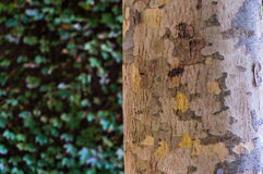 Close up of eucalyptus tree trunk texture Stock Photography