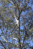 Close-up of Eucalyptus under blue sky. MONTE VERDE, MG, BRAZIL - APRIL 21, 2016 - Eucalyptus, tree genus with over 700 species, most native to Australia, used royalty free stock images