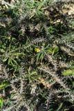 Close up of euphorbia mainiana bush spikey plant. Macro Stock Photo