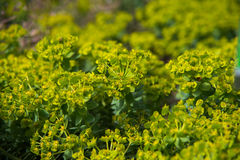 Close up on euphorbia myrsinties plant Stock Photos