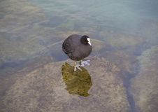 The close up of Eurasian coot or common coot standing on the rock in Geneva lake. stock images